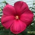 25 HOT PINK HIBISCUS Moscheutos Vintage Grenache Bush Flower Seeds *Comb S/HShip From USA