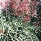 10 RED MAIDEN GRASS Miscanthus Sinensis Plumes Ornamental Flower Seeds *Comb S/HShip From USA