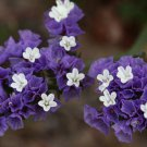 50 PURPLE STATICE / SEA LAVENDER Limonium Sinuatum Flower Seeds *Comb S/H + GiftShip From USA