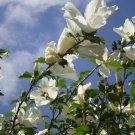 50 WHITE ROSE OF SHARON HIBISCUS Syriacus Flower Tree Bush Seeds *Comb S/H &GiftShip From USA