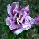 50 PURPLE DOUBLE ROSE OF SHARON HIBISCUS Syriacus Flower Tree Bush Seeds Comb SHShip From USA