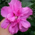 50 DARK PINK DOUBLE ROSE OF SHARON HIBISCUS Syriacus Flower Tree Bush SeedsShip From USA
