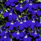 200 BLUE & WHITE HALF MOON LOBELIA Erinus Flower Seeds *Comb S/HShip From USA