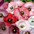 100 MOTHER OF PEARL POPPY MIX Papaver Rhoeas Flower Seeds Mixed Colors *Comb S/HShip From USA