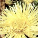 30 YELLOW NEEDLE ASTER Callistephus Unicom Flower Seeds *Comb S/H + Free GiftShip From USA