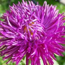 30 VIOLET PURPLE NEEDLE ASTER Callistephus Unicom Flower Seeds *Comb S/H + GiftShip From USA
