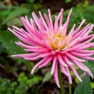 30 ROSE PINK NEEDLE ASTER Callistephus Unicom Flower Seeds *Comb S/H + Free GiftShip From USA