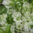 3 FRINGE TREE Chionanthus Virginicus Old Man's Beard White Flower Seeds *CombS/HShip From USA