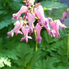 10 FRINGED / FERN LEAF BLEEDING HEART Dicentra Eximia Pink Flower Seeds *CombS/HShip From USA
