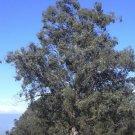 25 TASMANIAN BLUE GUM TREE / EUCALYPTUS Globulus Flower Seeds *Comb S/H & GiftShip From USA