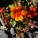 100 Twinkle ORANGE MONKEY FLOWER Mimulus Seeds + Gift & Comb S/HShip From USA