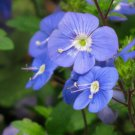 50 CREEPING BLUE SPEEDWELL / VERONICA Repens Flower Seeds *Comb S/H & Free GiftShip From USA