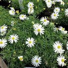 200 WHITE SWAN RIVER DAISY Brachyscome Iberidifolia Flower Seeds *Comb S/HShip From USA