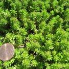 25 SPANISH STONECROP / SEDUM HISPANICUM Groundcover Flower Seeds *Comb S/HShip From USA