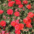 100 RED PORTULACA Grandiflora / MOSS ROSE Flower Seeds *Comb S/H + Free GiftShip From USA
