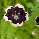 50 PENNIE BLACK - NEMOPHLIA Discoidalis Penny White Flower Seeds *Comb S/HShip From USA