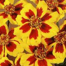 400 DAINTY MARIETTA FRENCH MARIGOLD Tagetes Patula Flower Seeds + Gift & CombS/HShip From USA