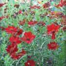 50 MAHOGANY MIDGET COREOPSIS Tinctoria Red Dwarf Flower Seeds + Gift & Comb S/HShip From USA