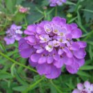 1000 ROSE CARDINAL CANDYTUFT Iberis Umbellata Flower Seeds + Gift & Comb S/HShip From USA