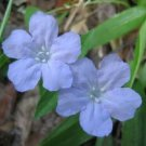 100 BLUE PURPLE FRINGELEAF PETUNIA Wild Ruellia Humilis Flower Seeds *Comb S/HShip From USA