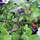 20 FILIUS BLUE PEPPER Capiscum Annuum Christmas Pepper Vegetable Seeds *CombS/HShip From USA