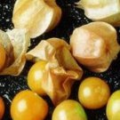 200 GROUND CHERRY Physalis Pubescens Golden Strawberry Lantern Vegetable SeedsShip From USA