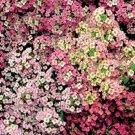 500 Sweet ALYSSUM PASTEL CARPET MIX Lobularia Maritima Flower Seeds *Comb S/HShip From USA