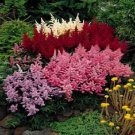 50 MIXED COLORS ASTILBE BUNTER Simplicifolia Shade Flower Seeds +Gift & Comb S/HShip From USA