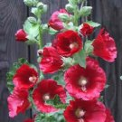 50 HOLLYHOCK COUNTRY ROMANCE MIX Alcea Rosea Flower Seeds + Gift & Comb S/HShip From USA