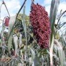 50 BROOMCORN / COLORED UPRIGHTS SORGHUM BICOLOR RED Seeds + Gift & Comb S/HShip From USA