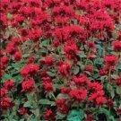10 Panorama RED BEE BALM / MONARDA DIDYMA Oswego Tea Flower Seeds +Gift & CombSHShip From USA