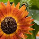 25 INDIAN BLANKET SUNFLOWER Helianthus Annuus Flower Seeds + Gift & Comb S/HShip From USA
