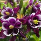 100 DWARF COLUMBINE Aquilegia Mixed Colors Flower Seeds + Gift & Comb S/HShip From USA