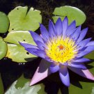10 BLUE Lotus Nymphaea Caerulea Asian WATER LILY Pad Flower Pond Seeds *Comb S/HShip From USA