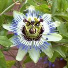 10 BLUE CROWN PASSION FLOWER VINE Passiflora Caerulea Seeds + Gift & Comb S/HShip From USA