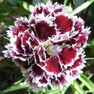 50 VELVET N LACE DIANTHUS Plumarius Flower Seeds + Gift & Comb S/HShip From USA