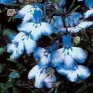 200 BLUE SPLASH LOBELIA REGATTA Blue & White Erinus Flower Seeds *Comb S/HShip From USA