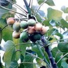 5 PHYSIC NUT Barbados Purging JATROPHA Curcas Tree Seeds BIO-DIESEL *Comb S/HShip From USA
