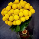 20 Yellow BILLY BUTTONS / WOLYHEADS Craspedia Globosa Flower Seeds *Comb S/HShip From USA