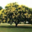 10 GOLDEN RAIN TREE Goldenrain Koelreuteria Paniculata Seeds + Gift & Comb S/HShip From USA