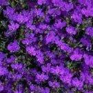 200 CRYSTAL PALACE Purple BLUE LOBELIA REGATTA Erinus Flower Seeds *Comb S/HShip From USA