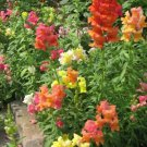 2000 SNAPDRAGON CORONA MIX Antirrhinum Majus Flower Seeds + Gift & Comb S/HShip From USA