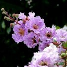 35 LILAC CREPE MYRTLE Crape Tree Shrub Lagerstroemia Flower Seeds +Gift & CombSHShip From USA