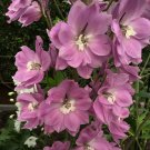 100 PINK PERFECTION LARKSPUR DELPHINIUM Consolida Ambigua Flower Seeds *Comb S/HShip From USA