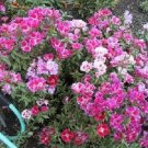 500 MIXED COLORS GODETIA Clarkia Amoena Flower Seeds + Gift & Comb S/HShip From USA