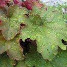 1200 CORAL BELLS - Prairie Alumroot HEUCHERA Richardsonii Shade Flower SeedsShip From USA