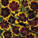 30 COSMIDIUM BRUNETTE Burridgeanum Greenthread Flower Seeds + Gift & Comb S/HShip From USA