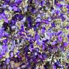 10 DESERT SMOKE TREE Psorothamnus Dalea Spinosa Shrub Indigo Blue Flower SeedsShip From USA