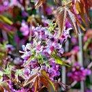 5 MEXICAN BUCKEYE Ungnadia Speciosa Shrub Tree Pink Purple Fragrant Flower SeedsShip From USA