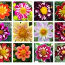 50 MIXED COLLARETTE DAHLIA Variabilis Two Tone Red Pink Yellow Flower SeedsShip From USA
